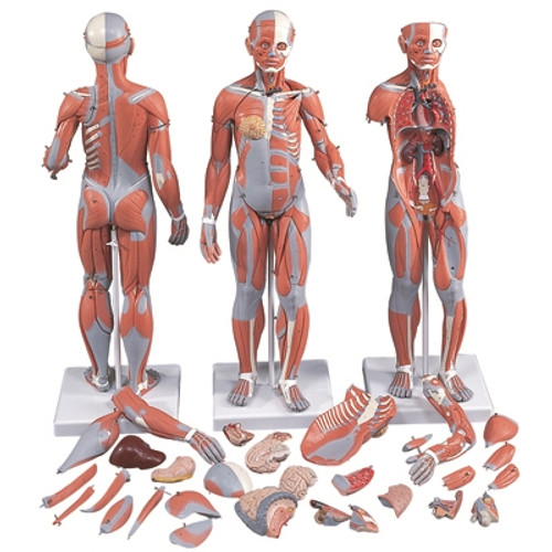 Anatomical Model: 1/2 Life Size Complete Dual Sex Muscle Figure, 33-Part