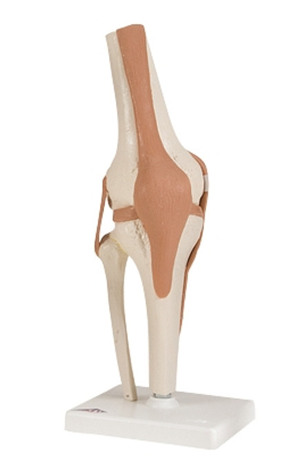 Anatomical Model: Functional Knee Joint