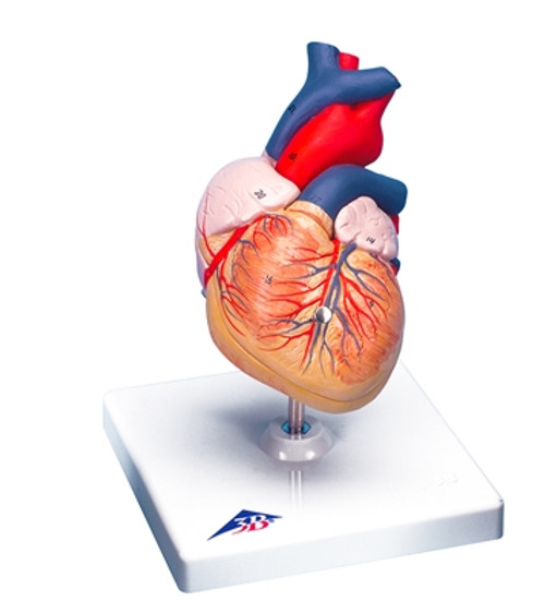 Anatomical Model: Heart, 2-Part (Student Size)