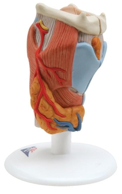 Anatomical Model: Larynx, 2-Part