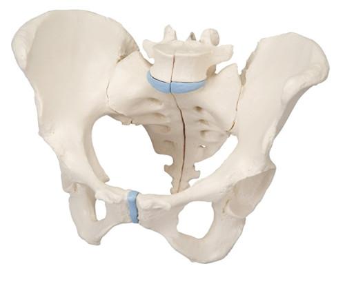 Anatomical Model: Female Pelvis, 3-Part