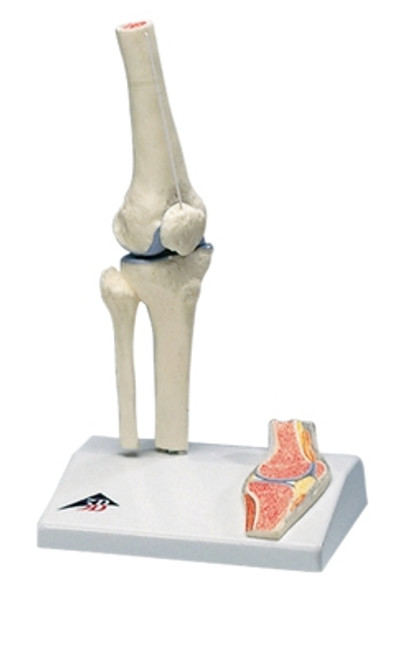 Anatomical Model: Mini Knee Joint w/Cross Section Of Bone On Base