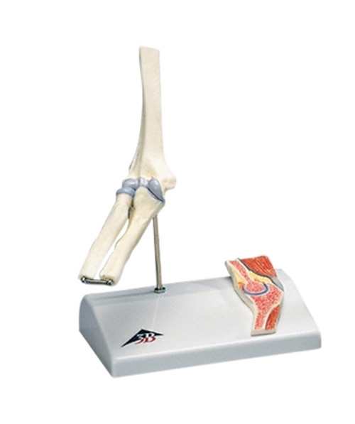Anatomical Model: Mini Elbow Joint w/Cross Section Of Bone On Base