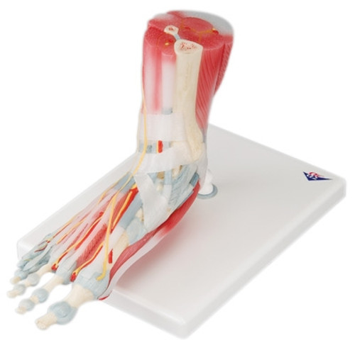 Anatomical Model: Foot Skeleton w/Ligaments & Muscles