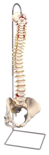 Anatomical Model: Flexible Spine, Classic, Female Pelvis