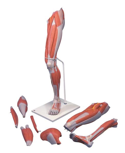 Anatomical Model: Muscular Leg, 7-Part