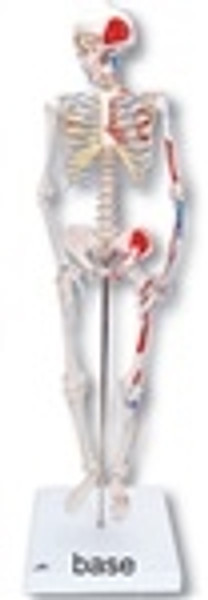 Anatomical Model: Mini Skeleton w/Muscles On Base