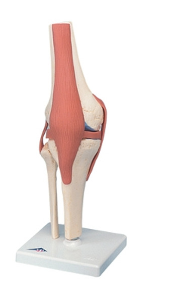 Anatomical Model: Functional Knee Joint, Deluxe