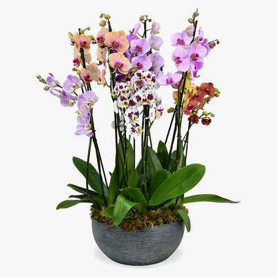 Luxury Orchids