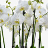 Heavenly Orchids