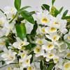 Dendrobium In White