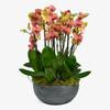 Sunset Orchids