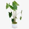 Zebra Plant