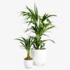 Kentia Palm (set of 2)