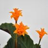 Eternal Flame Plant