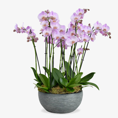 Candy Orchids