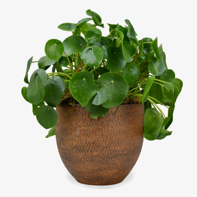 Large Money Plant