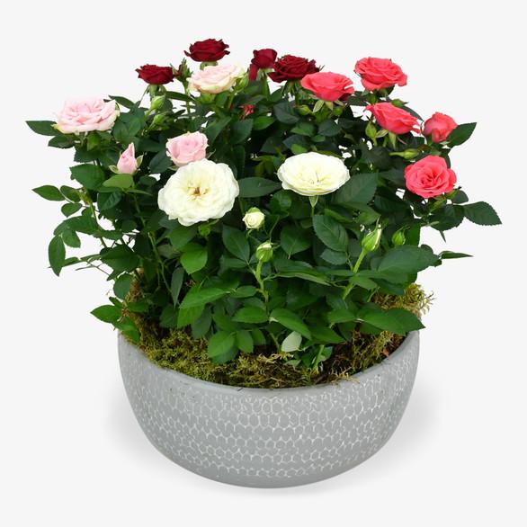 Rose Plant Arrangement