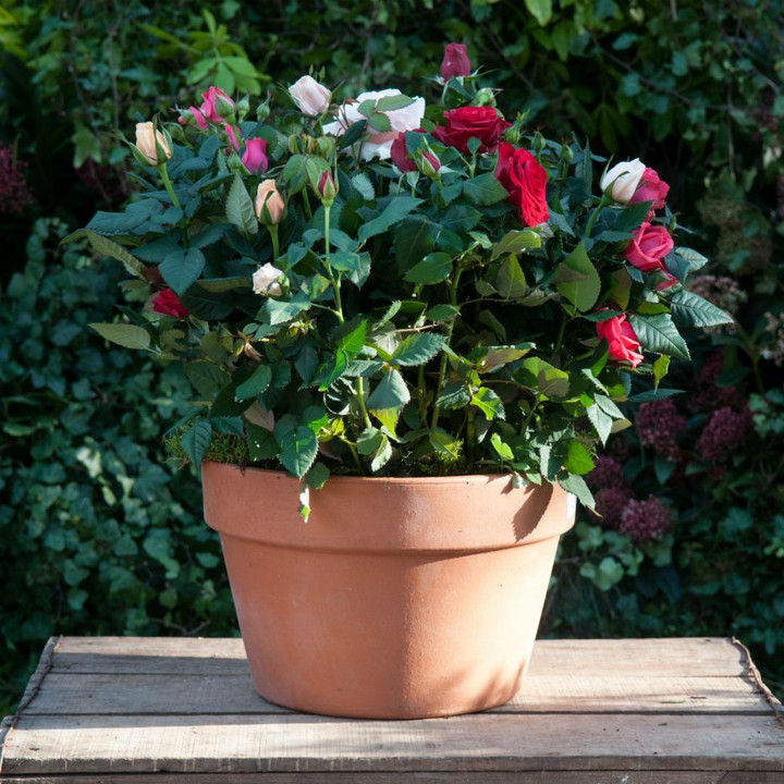 Rosa Large