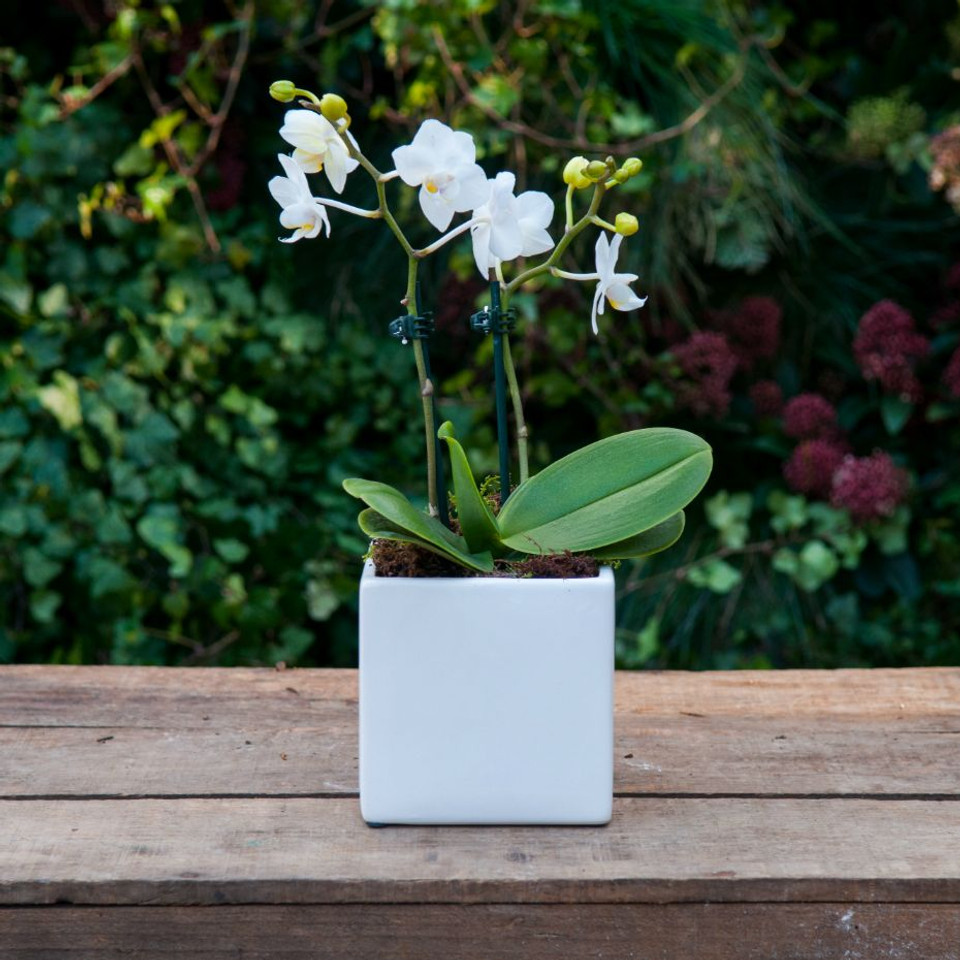 Mini Orchidea
