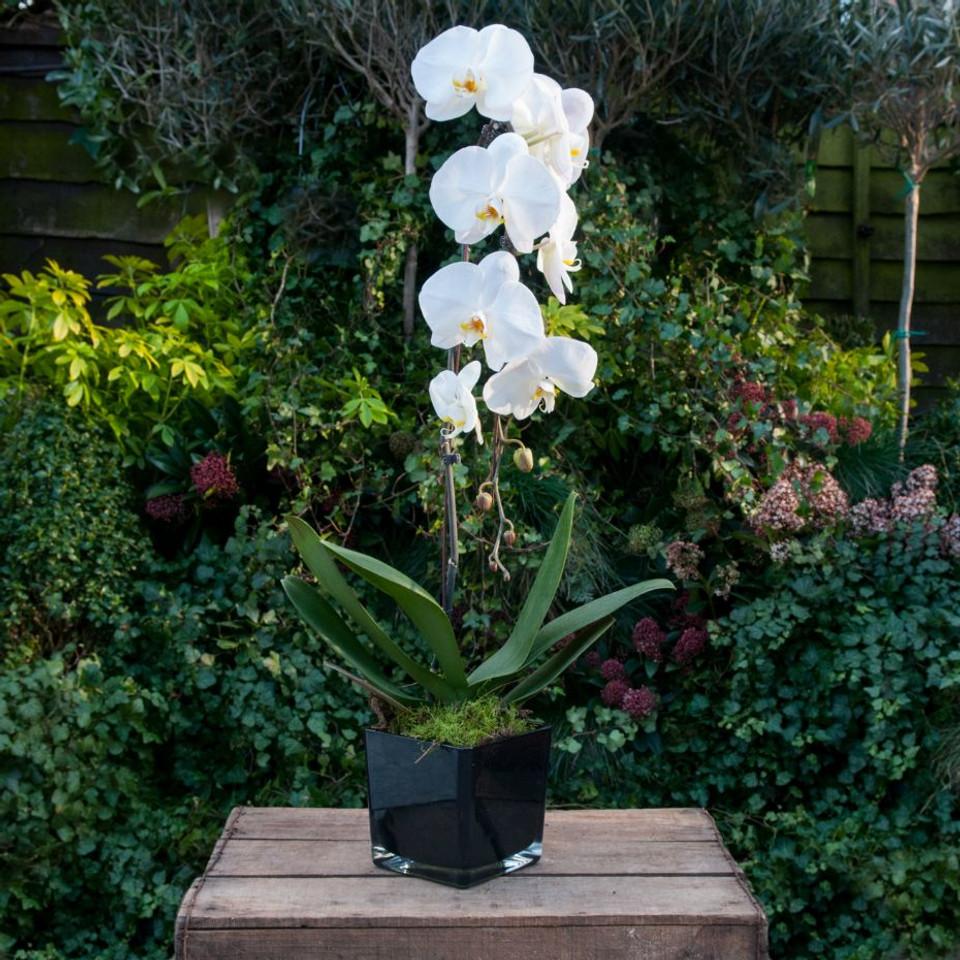 Elegant Orchids