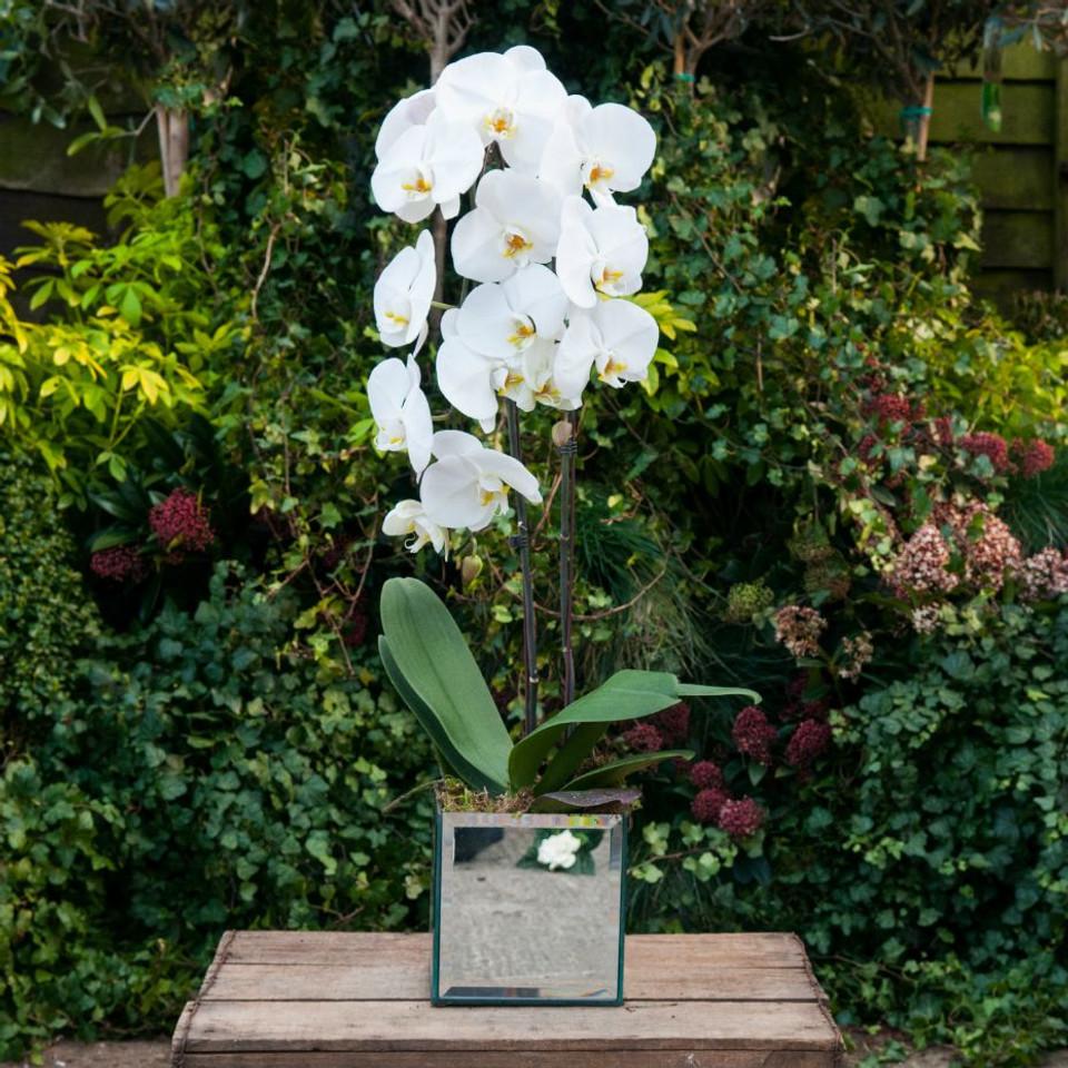 Cascading Orchidea