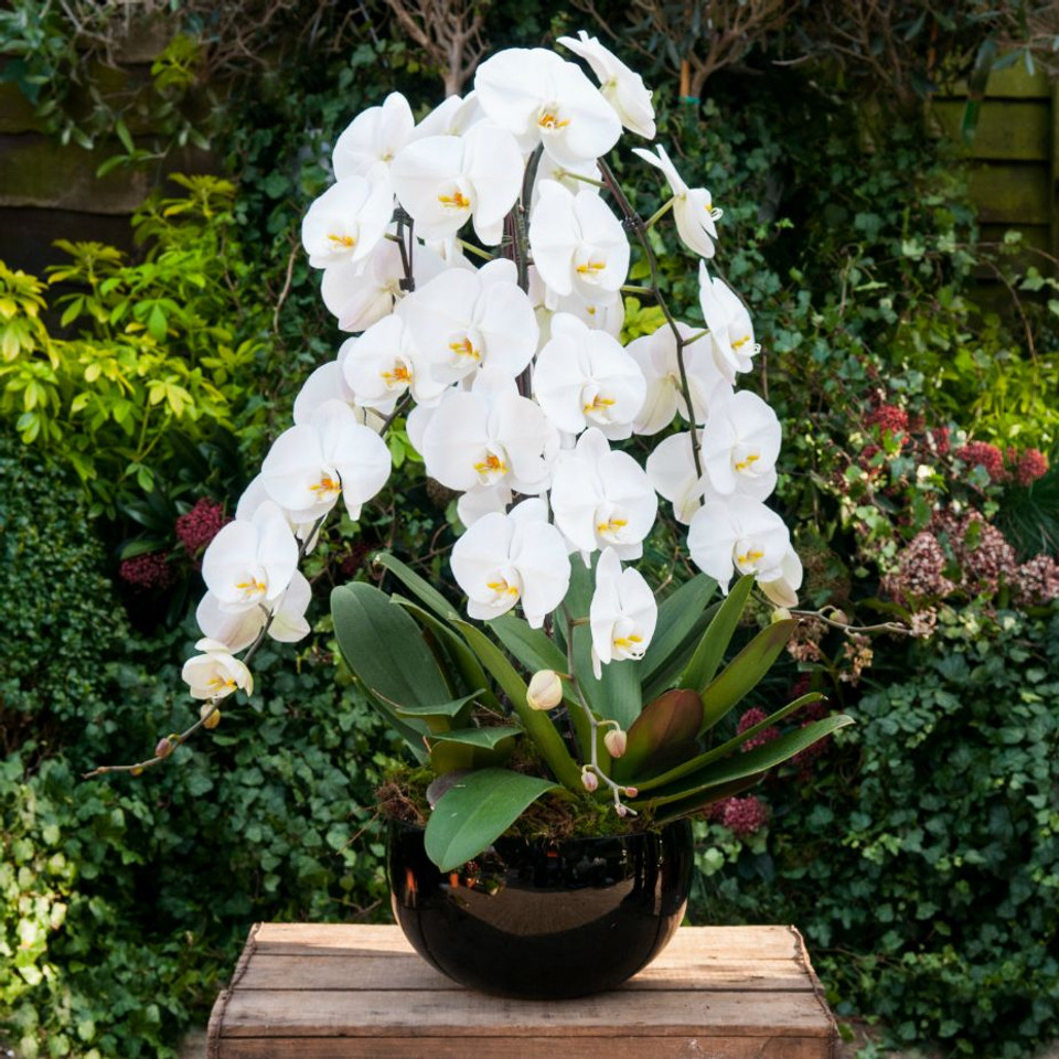 Cascading Marvel Orchidea