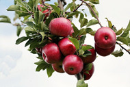 How to Pick, Plant, and Care for Backyard (or Balcony) Fruit Trees