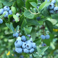 How to Prune Blueberry Bushes and Care for Blueberry Plants