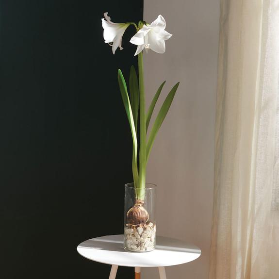 Picotee Amaryllis Bulb Kit
