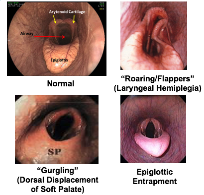 4 pictures showing a horse's normal epiglottis, and what it looks like for roarers, DDSP and epiglottic entrapment