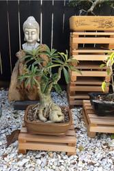 Bonsai stand, strong, durable, elegant, all weather timber outdoor cedar bonsai dai