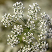 Aniseed for baking comes from anise flowers