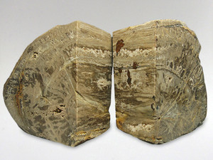 Fossil Wood - Bookend 1