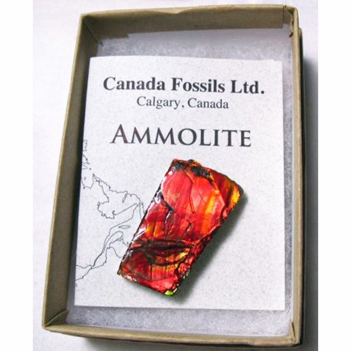 Boxed Canadian Ammolite Hand Specimens Red sample
