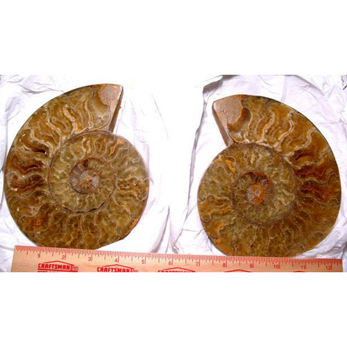 Large Polished Ammonite Fossils from Madagascar 2LAFM