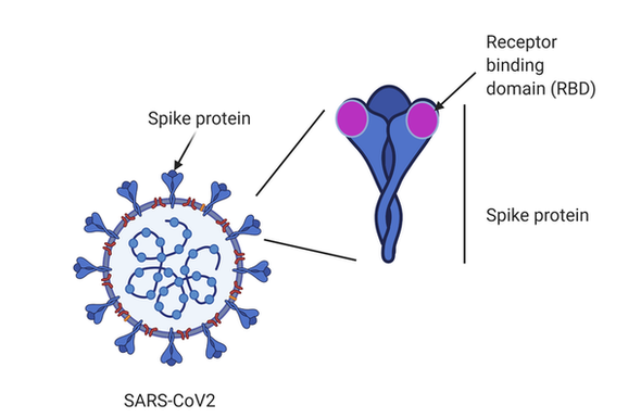 S1-RBD-Kappa protein (B.1.617.1)_HEK