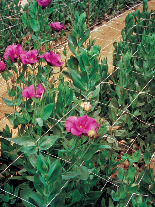 Hortononva  Horizontal support for flowers
