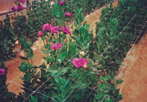 Tenax Hortinova horizontal flower support