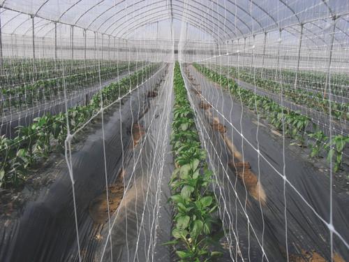 Tenax Hortonova Vertical plant support in greenhouse