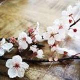 Cherry Blossom Studs, 5mm ~ Silver   Handmade in Victoria