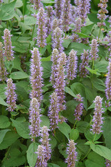 Blue Fortune Anise Hyssop