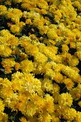 Garden Mum, Yellow