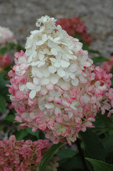Vanilla Strawberry™ Hydrangea