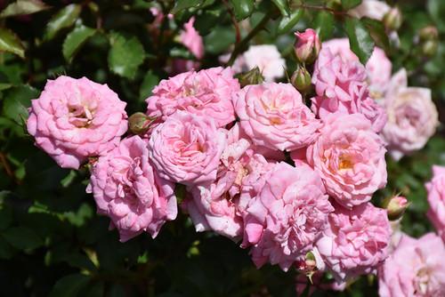 Sweet Drift® Rose