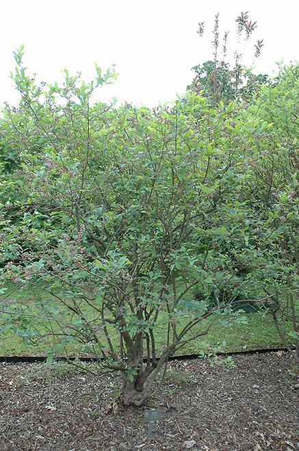 Premier Rabbiteye Blueberry