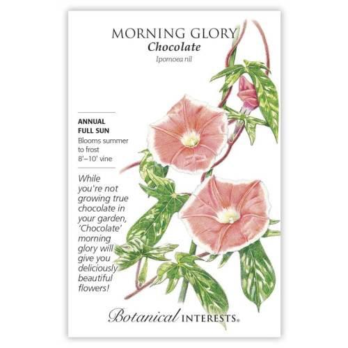Chocolate Morning Glory Seeds