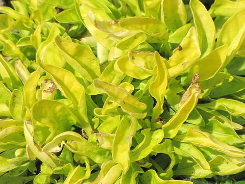 True Yellow Alternanthera