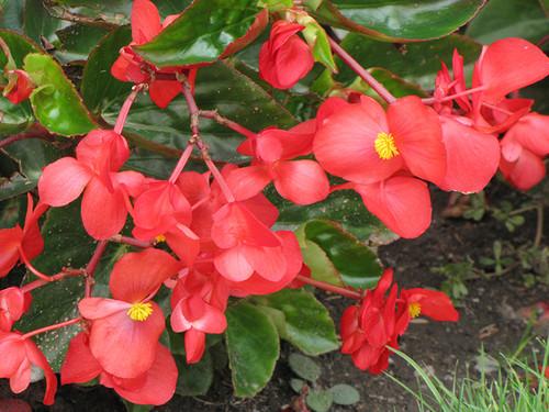 Dragon Wing Red Begonia