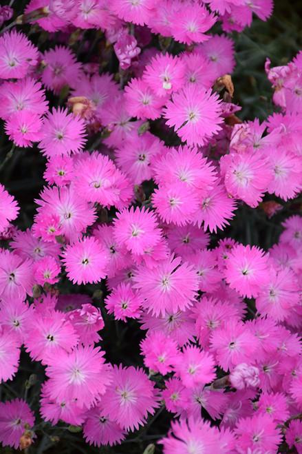 Firewitch Pinks